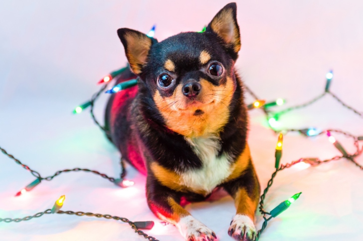 Chihuahua Dog wallpaper