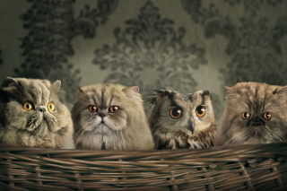 Cats and Owl as Third Wheel - Obrázkek zdarma pro Widescreen Desktop PC 1920x1080 Full HD
