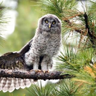 Owl in Forest - Obrázkek zdarma pro 128x128
