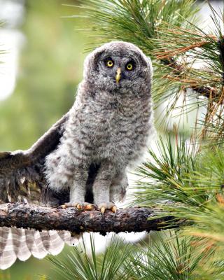 Owl in Forest - Obrázkek zdarma pro iPhone 4