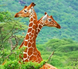 Savannah Giraffe - Obrázkek zdarma pro 208x208