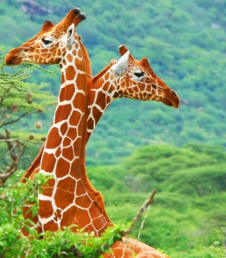 Savannah Giraffe - Obrázkek zdarma pro 132x176