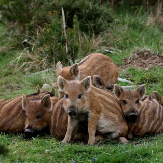 Wild boar, Feral pig - Obrázkek zdarma pro iPad mini 2