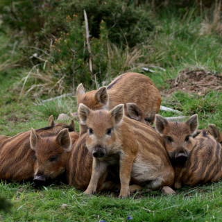 Wild boar, Feral pig - Obrázkek zdarma pro iPad Air