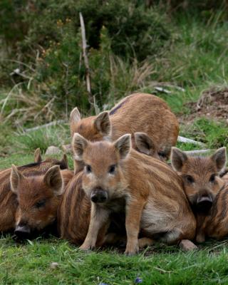Wild boar, Feral pig - Obrázkek zdarma pro Nokia Asha 308
