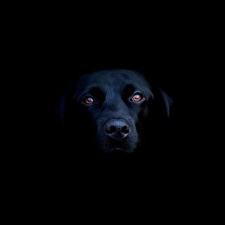 Black Lab Labrador Retriever - Obrázkek zdarma pro iPad mini 2