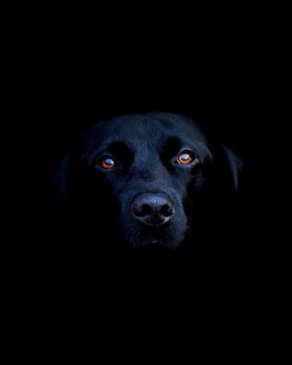 Black Lab Labrador Retriever - Obrázkek zdarma pro Nokia Asha 305