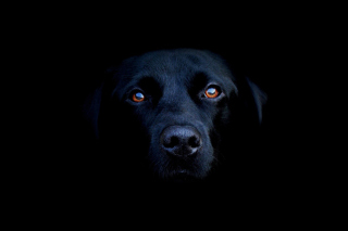 Black Lab Labrador Retriever - Obrázkek zdarma pro Nokia X5-01