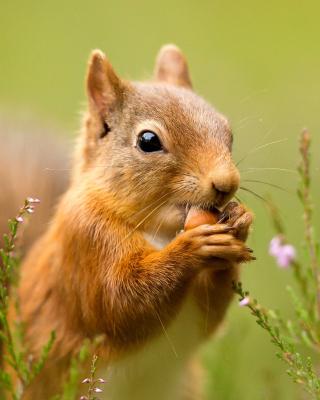 Squirrel Dinner - Obrázkek zdarma pro Nokia X6