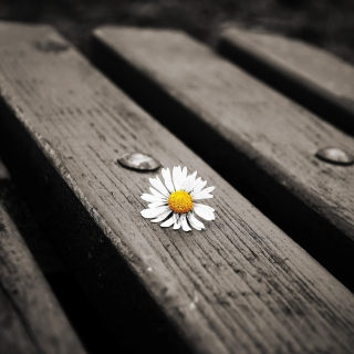 Lonely Daisy On Bench - Obrázkek zdarma pro iPad 2