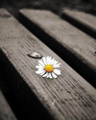 Lonely Daisy On Bench - Obrázkek zdarma pro Nokia Asha 306