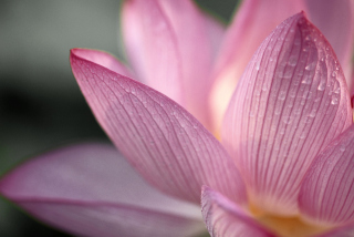 Lotus Flower Background for Android, iPhone and iPad