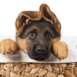 Shepherd Puppy - Obrázkek zdarma pro 320x320