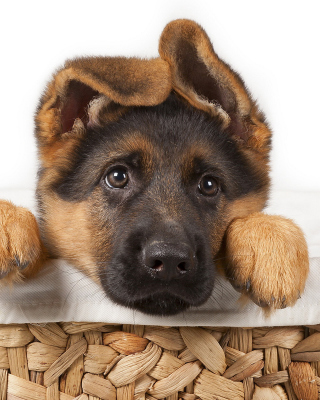 Shepherd Puppy - Obrázkek zdarma pro iPhone 4S