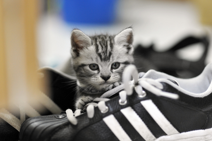 Kitten with shoes wallpaper