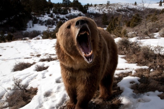 Brown Bear Roaring Picture for Android, iPhone and iPad