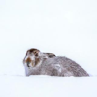 Rabbit in Snow - Obrázkek zdarma pro iPad mini 2