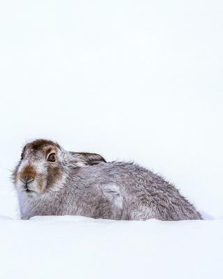 Rabbit in Snow - Obrázkek zdarma pro 240x320