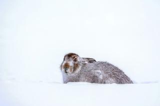Rabbit in Snow - Obrázkek zdarma pro 800x480