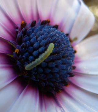 Caterpillar On Flower - Obrázkek zdarma pro Nokia C1-02
