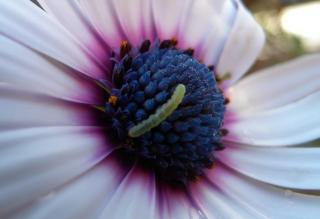 Caterpillar On Flower - Obrázkek zdarma pro 1024x768