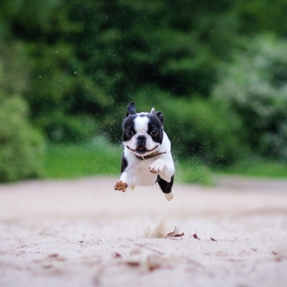 Boston Terrier - Obrázkek zdarma pro iPad mini