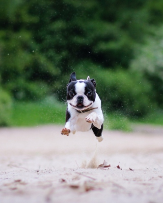 Boston Terrier - Obrázkek zdarma pro Nokia Asha 300
