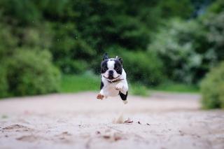 Boston Terrier - Obrázkek zdarma pro Nokia Asha 201