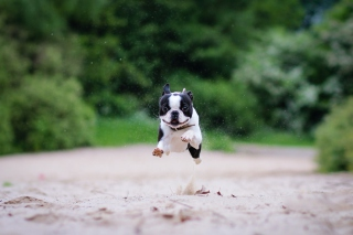 Boston Terrier - Obrázkek zdarma pro Sony Tablet S