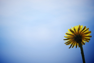Yellow Dandelion On Blue Sky Background for Android, iPhone and iPad