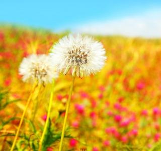 Spring Dandelions - Obrázkek zdarma pro iPad Air