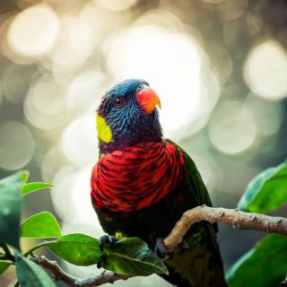 Rainbow Lorikeet Parrot - Obrázkek zdarma pro 208x208