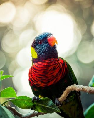Rainbow Lorikeet Parrot - Obrázkek zdarma pro Nokia 300 Asha