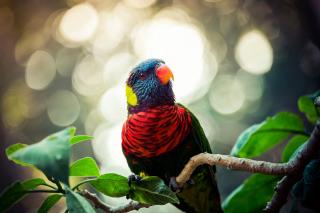 Rainbow Lorikeet Parrot - Obrázkek zdarma pro Samsung Galaxy Tab 4G LTE
