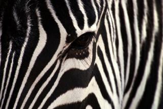 Zebra - Obrázkek zdarma pro 1080x960
