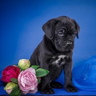 Cane Corso Puppy - Obrázkek zdarma pro 128x128