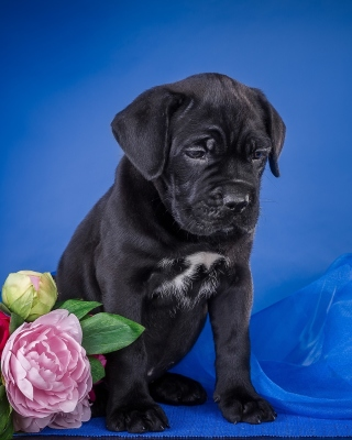 Cane Corso Puppy - Obrázkek zdarma pro Nokia C3-01 Gold Edition