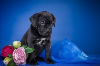 Cane Corso Puppy - Obrázkek zdarma pro 480x320