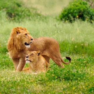 Lion Couple - Obrázkek zdarma pro iPad 2