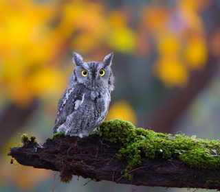 Little Owl Yellow Eyes - Obrázkek zdarma pro 1024x1024