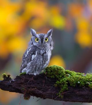 Little Owl Yellow Eyes - Obrázkek zdarma pro Nokia Asha 308