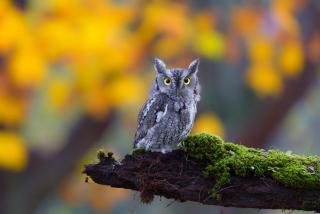 Little Owl Yellow Eyes - Obrázkek zdarma pro Android 1080x960